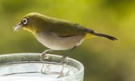 cape-town-tranquility4-cape-white-eye